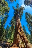 General Sherman Tree - the largest tree on Earth, Giant Sequoia Trees in Sequoia National Park, California, USA royalty free stock image