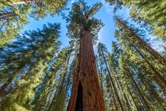 General Sherman Tree - the largest tree on Earth, Giant Sequoia Trees in Sequoia National Park, California, USA stock images