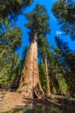 General Sherman Tree - the largest tree on Earth, Giant Sequoia Trees in Sequoia National Park, California, USA royalty free stock photo