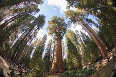 General Sherman Tree Sequoia National Park stockbild