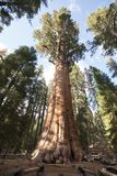General Sherman Tree Sequoia National Park Lizenzfreies Stockfoto