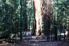 General Sherman tree in Sequoia National Park Royalty Free Stock Photography