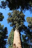 General Sherman Tree, sequoianationalpark Arkivfoto