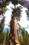 General sherman tree royalty free stock image
