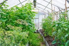 General view on a small covered greenhouse with growing. Cucumbers, tomatoes, hot pepper, dill, arugula royalty free stock images