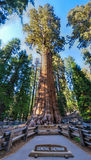 Generale Sherman Sequoia Tree Fotografia Stock Libera da Diritti