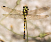 Generalità della libellula Fotografia Stock