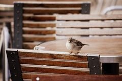 Parisian sparrow waiting for a chance to get some leftover food stock photo