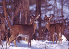 Generations. Whitetail doe herd together during the winter snow stock photography