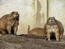 Genere attento Cynomys delle marmotte vicino ai fori dei loro nidi Immagine Stock