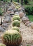 Genere di cactus Immagini Stock Libere da Diritti