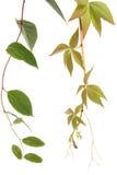 Genere due di piante del creeper Fotografia Stock
