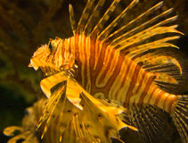 Genere Pterois del Lionfish Fotografia Stock