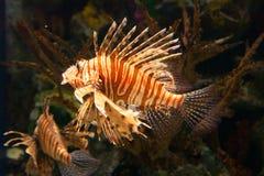 Genere Pterois del Lionfish Immagine Stock Libera da Diritti
