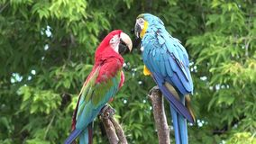 Genere tropicale neo coda stretta lunga dell'ara delle belle piume variopinte due dell'uccello del pappagallo dell'ara che gioca  archivi video