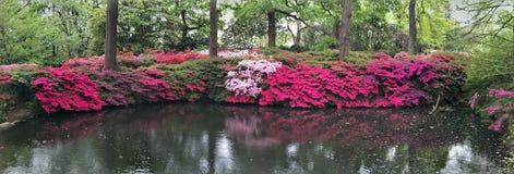 Generi di azalea in fioritura immagini stock