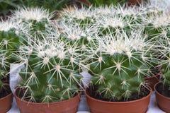 Generi differenti di cactus che coltivano nell'i vasi di plastica fotografia stock