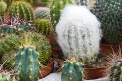 Generi differenti di cactus che coltivano nell'i vasi di plastica fotografia stock libera da diritti