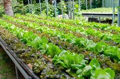 Generi differenti di coltivazione organica di lattuga immagine stock libera da diritti