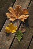 Generi differenti di foglie Rosso, giallo e verde immagine stock libera da diritti