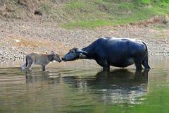 Generi il bufalo ed il giovane bufalo nel fiume Fotografia Stock Libera da Diritti