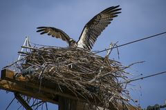 Generi il falco pescatore nel nido immagini stock libere da diritti