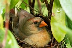 Generi l'uccello cardinale che si siede sui suoi pulcini neonati nel nido Fotografie Stock