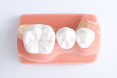 Generic dental teeth model Stock Image