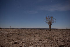Generic desert scene with Quiver Tree at midnight Stock Photography