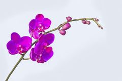 Close up Phalaenopsis Blume orchid isolated color background. The generic name from Greek means φαλαινα `Phalaen[a]-like` and is probably a reference to Royalty Free Stock Image