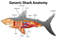 Generic shark anatomy chart. Illustration Royalty Free Stock Photography
