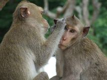 The generosity of the monkey colony Royalty Free Stock Photo