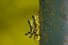 Generoso Mountain Grasshopper Miramella Formosanta fotografie stock libere da diritti