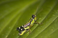 Generoso Mountain Grasshopper Miramella Formosanta immagine stock