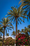 Palm trees and bougainvillea Royalty Free Stock Photos