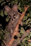 Genet при пятна пряча в дереве на ноче Стоковые Фотографии RF
