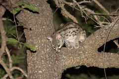 Genet royalty free stock image