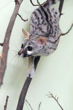 Genet Royalty Free Stock Photos