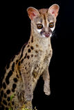 Genet. The Cape Genet / Genetta tigrina Royalty Free Stock Images
