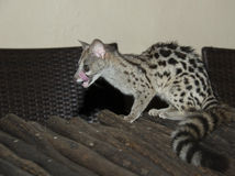 Genet cat. Small young grey striped genet cat Royalty Free Stock Photo