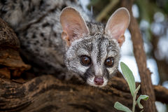 Genet cat. Young genet cat seen in namibia in a forest Royalty Free Stock Image