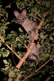 Genet con los puntos que ocultan en árbol en la noche Foto de archivo libre de regalías