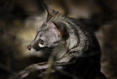 genet De petite taille-repéré, G genetta, dans la forêt foncée, Etosha NP, Namibie, Afrique Nature de nuit, portrait de détail de images libres de droits