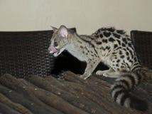 Genet katt royaltyfri foto