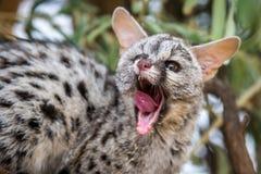 Genet katt Royaltyfria Bilder