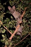 Genet met vlekken die in boom bij nacht verbergen Royalty-vrije Stock Foto