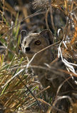 Genet Pequeño-Manchado - Botswana fotos de archivo libres de regalías