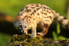 Genet portrait in a forest. With a warm sun light at sunset Stock Image