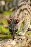Genet smelling in a forest. Genet smelling on a trunk in a forest with day light Stock Photo