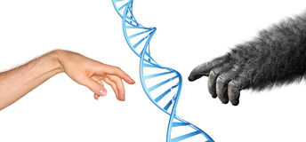 Genetic common ancestry concept for evolution of primates. Human and gorilla hands reaching to touch, with DNA spiral in center Royalty Free Stock Images